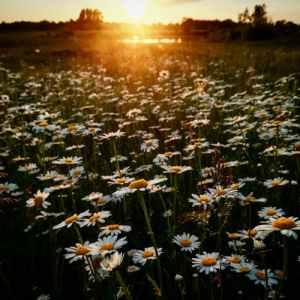daisyfields
